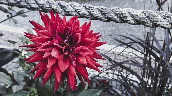 Color Key, Red Flower, Rope, Black White, Garden Rose