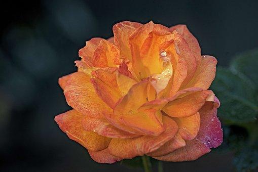 Rose, Orange, Close Up, Petals