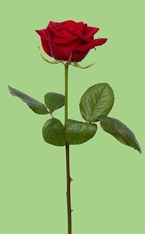 Rose, Red, Red Rose, Flower, Love, Romance, Gift