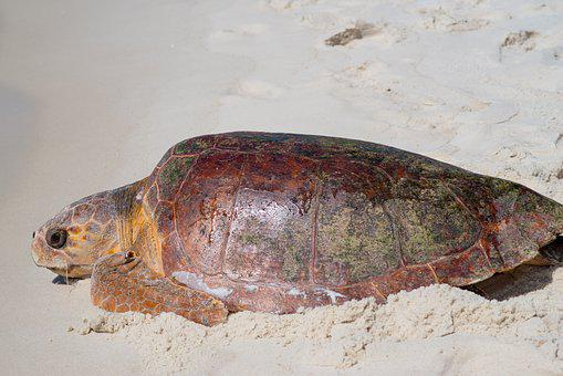 Sea Turtle, Sea Life, Gulf Of Mexico, Panhandle, Turtle