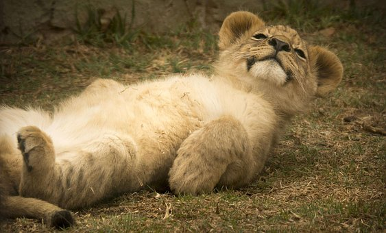 Lion Cub, Cute, Smile, Comical, Cuddly, Cat