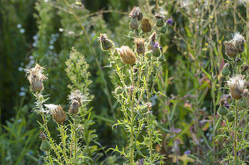 Thistles, Meadow, Nature, Lighting, Thistle Flowers