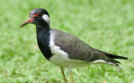Water Jacana, Bird, Jacana, Wildlife, Wild, Aquatic