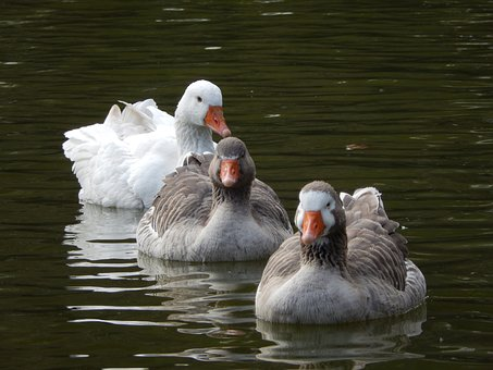 Goose, Lake, Duck, Paige, Waterfowl, White Bird, Nature