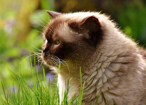 British Shorthair, Rest, Relaxed, Meadow, Cat