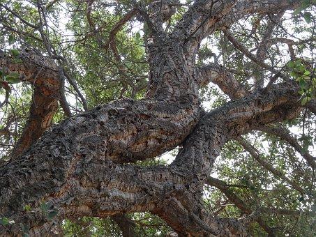 Corsica, Cork Oak, Skyward