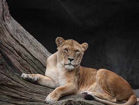 Lion, Cat, Dangerous, Lion Females