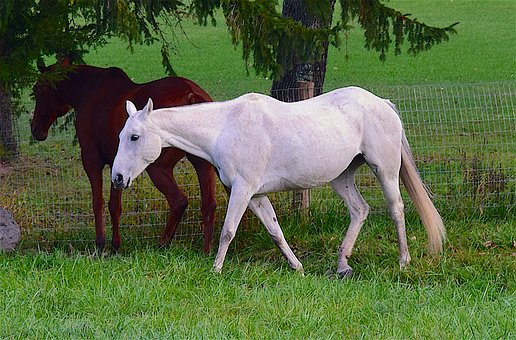 Horse, White, Brown, Farm, Animal, Stallion, Equine