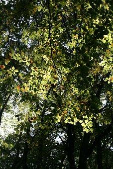 Leaves, Deciduous Tree, Autumn, Nature, Green, Tree