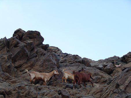 Climbers, Goat, Les Grimpeurs