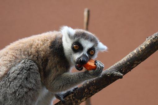 Maki, Monkey, Ring-tailed Lemur, Primate, Animal
