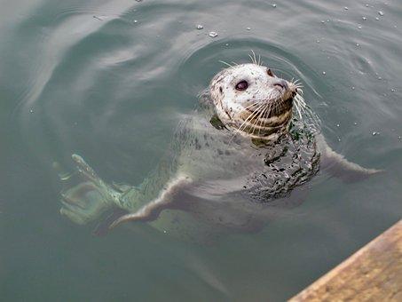Seal, Marine, Ocean, Mammal, Nature, Wild, Cute, Pup