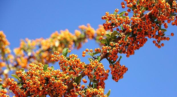 Sea Buckthorn, Plant, Orang, Sky, Blue, Nature