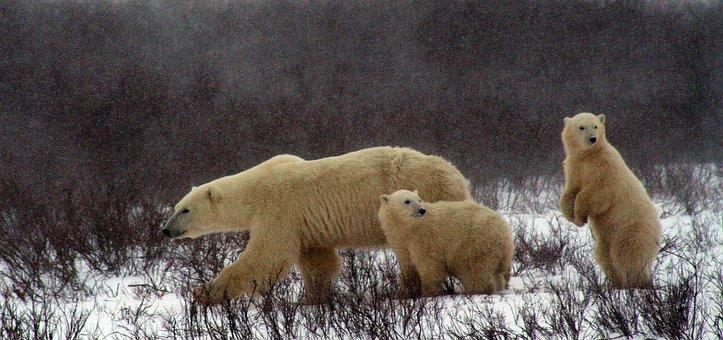 Polar Bear And Cubs, Polar Bear, Churchill Canada