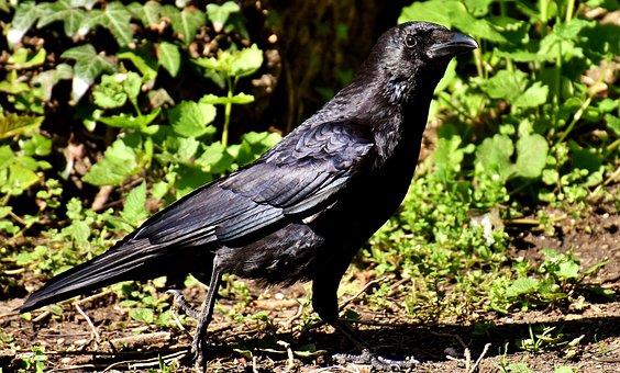 Common Raven, Raven Bird, Corvus Corax, Raven, Animal