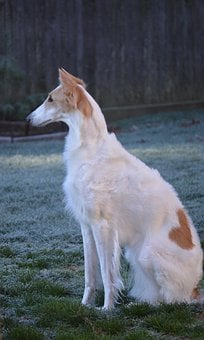 Russian Wolfhound, Borzoi, Breed, Sighthound, Dog, Pet