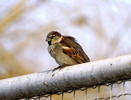 Bird, Gorrion, Little Bird, Ave, Sparrow, Wall, Lookout