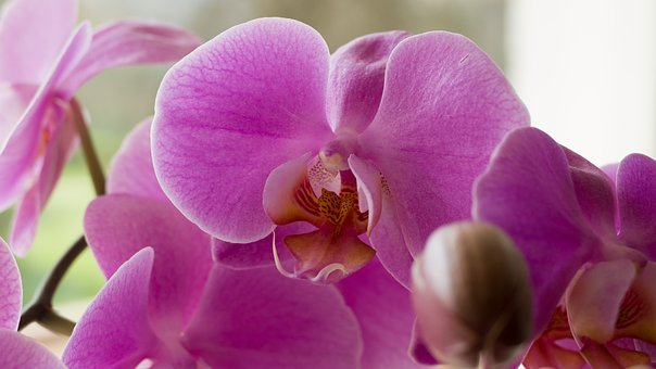 Orchis, Flower, Violet, Pink, Dashing, Petal, Plant
