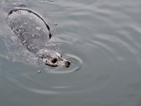 Seal, Water, Mammal, Wild, Marine, Aquatic, Swimming