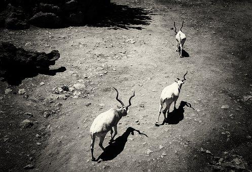 Kudu, Animals, Nature, Africa, Travel, Zoo, Horns