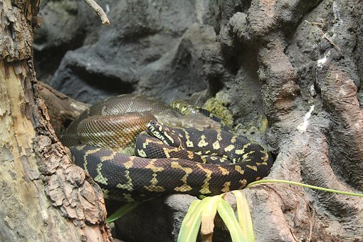 Animal, Animals, Reptile, Snake, Nature, Fauna