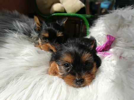 Yorkshire Terrier, Dog, Animal, Yorskire Terrier, Pet