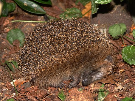 Hedgehog, Animal, Spur, Young, Hannah, Nature, Cute