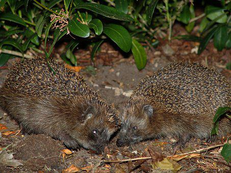 Hedgehog, Animals, Spur, Cute, Hannah, Nature