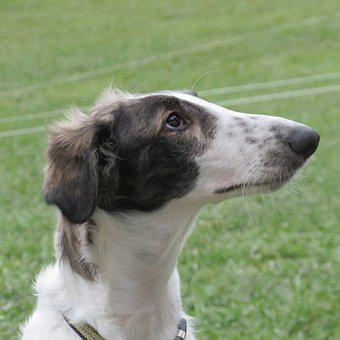 Borzoi, Russian Wolfhound, Sight Hound, Breed, Russian