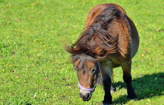 Horse, Pony, Mane, Brown, Small Horse Breed, Seahorses