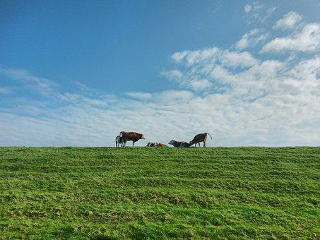 Cows, Dike, Group, Sky, Landscape, Rest, Idyll
