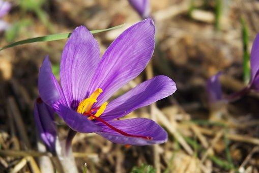 Saffron, Crocus Sativus, Saffron Flower, Fall, Spice