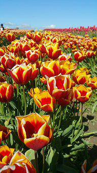 Tulips, Flower, Red, Bouquet, White, Summer, Floral
