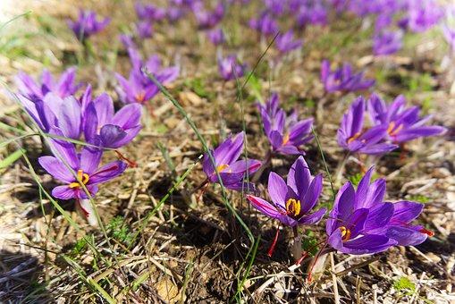 Saffron, Crocus Sativus, Harvest, Flowers Of Saffron