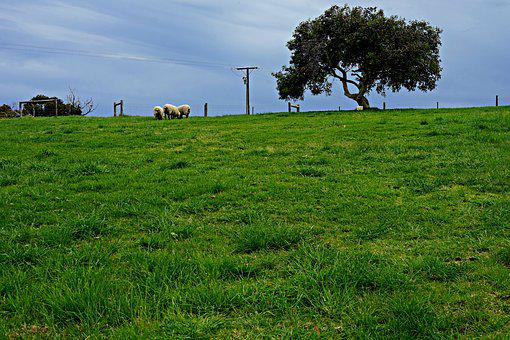 Sheep, Lone Tree, Horizon, Rolling Meadows