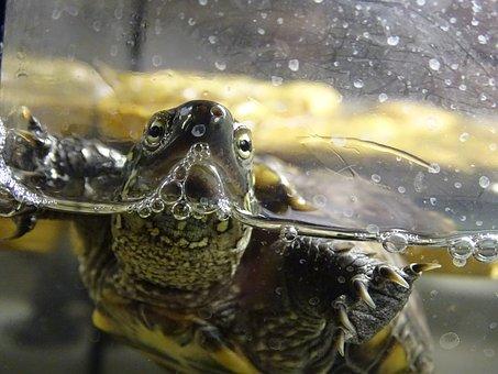 Turtle, Water Turtle, Shell, Water, Macro, Aquatics