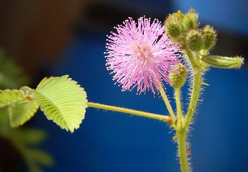 Mimosa Pudica, Flowers, Mimosa, Plant, Flora, Blossom