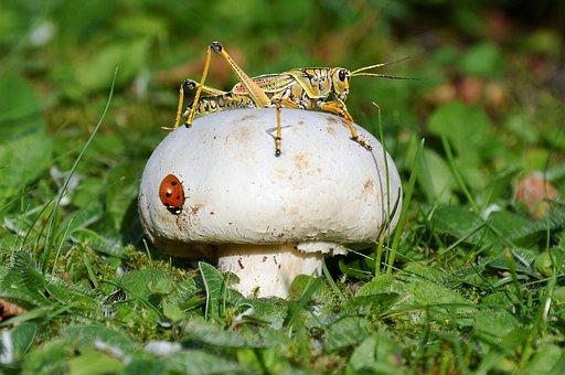 Mushroom, Ladybug, Cricket, Grass, Nature