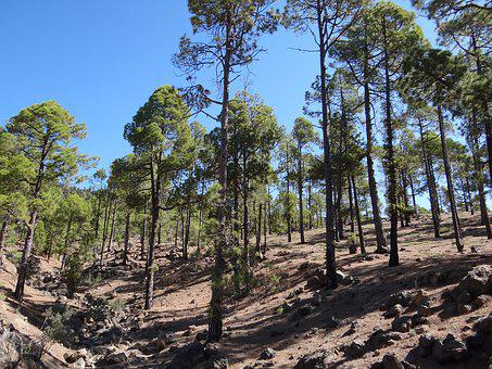 Forest, Tenerife, Nature