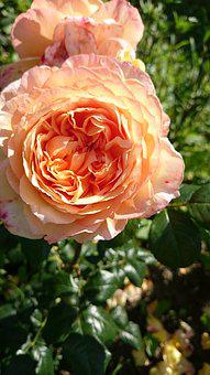 Flowers, Rose, Yellow, Apricot