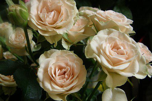 Rose, Roses, Flower, Tender Rose, Nature, Bouquet