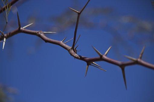 Thorns, Kalahari Desert, Namibia, Spur, Thornbush