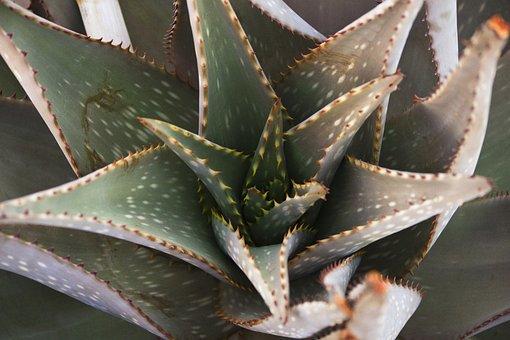Aloe, Succulent, Macro, Namibia, Nature, Spur, Plant