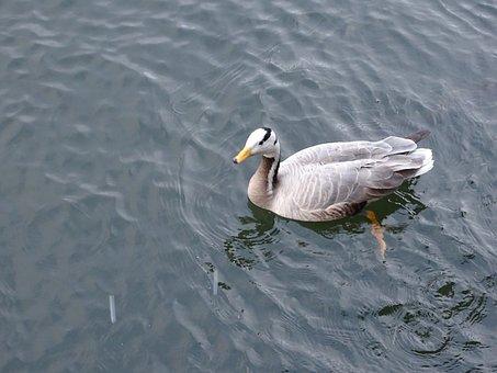 Duck, Mallard Duck, Pond, Wild, Water, Ducks, Bird
