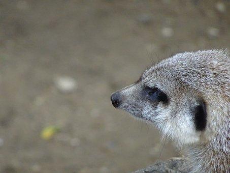 Head, Meerkat, Animal, Animals, Nature, Africa, View