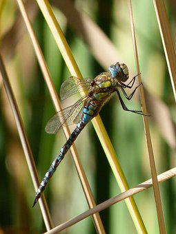 Dragonfly, Blue Dragonfly, Aeshna Affinis, Wetland
