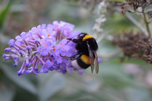 Bumblebee, Butterfly Bush, Garden, Purple Flower