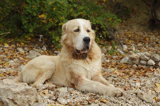 Dog, Alabai, Central Asian Shepherd Dog, Home, Eyes