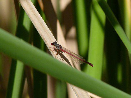 Dragonfly, Damselfly, Ceriagrion Tenellum, Juncos
