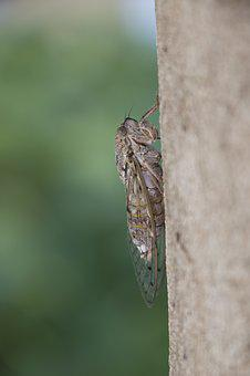 Cicada, Insect, Nature